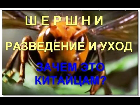 Шершни   разведение и уход.  Hornets breeding and care. Why Chinese horn...