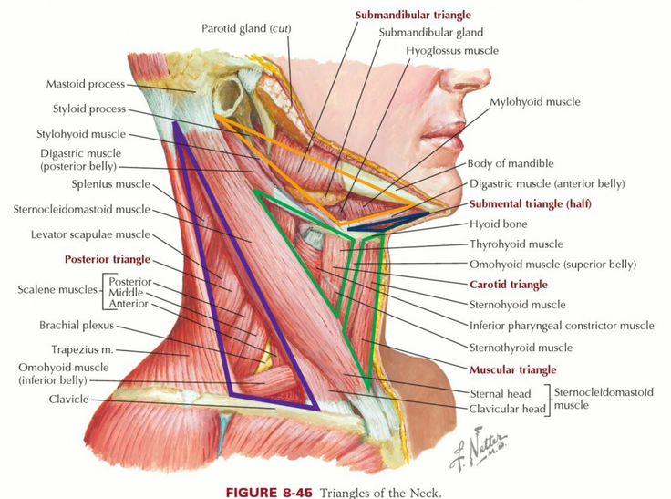 sternocleidomastoid muscle hakkında pinterest'teki en iyi 20+, Human Body