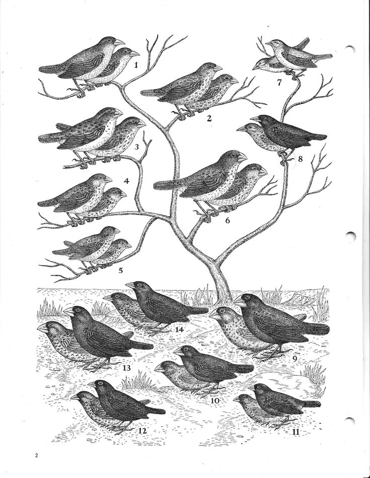 Charles Darwin's observations, notes and collected organisms from the Galapagos Islands during his 5-year voyage on the Beagle resulted in his theory of evolution by natural selection, one of the best substantiated theories in the history of science. He collected several finch species, including the warbler finch, sharp-beaked finch, ground finch, small tree finch, large tree finch, common cactus finch and large ground finch.