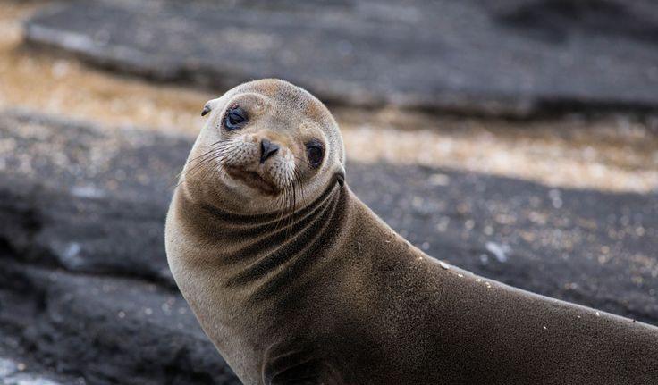 Galapagos Fur Seals - Facts, Diet & Habitat Information