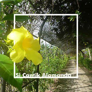Alamanda      Selain memiliki ciri mahkota bunga yang merekah menyerupai terompet, tanaman ini juga memiliki aroma yang wangi serta warn...