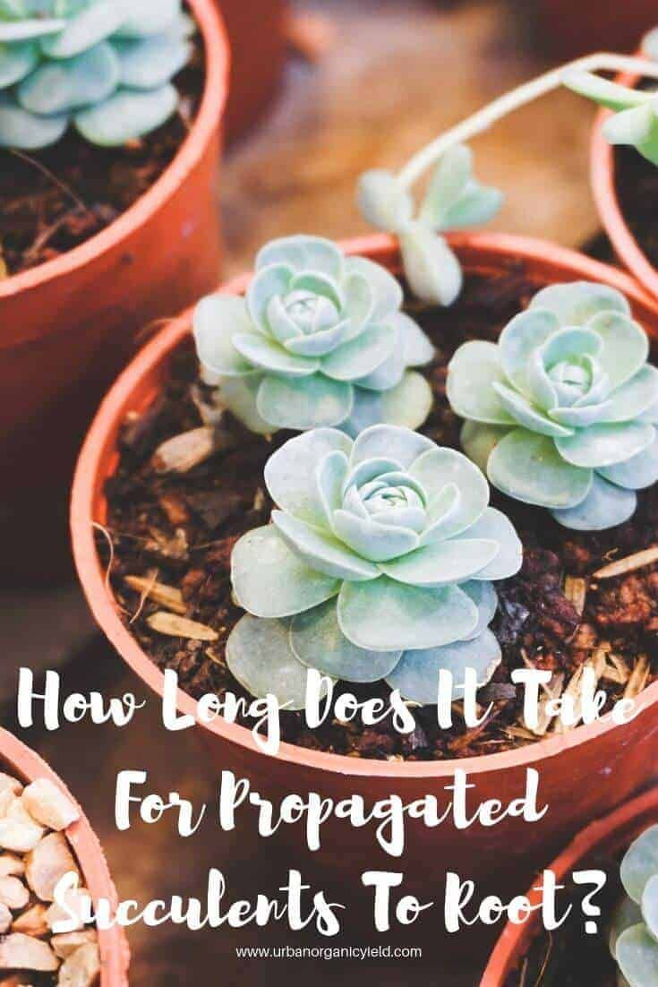 How long does it take for propagated succulents to root