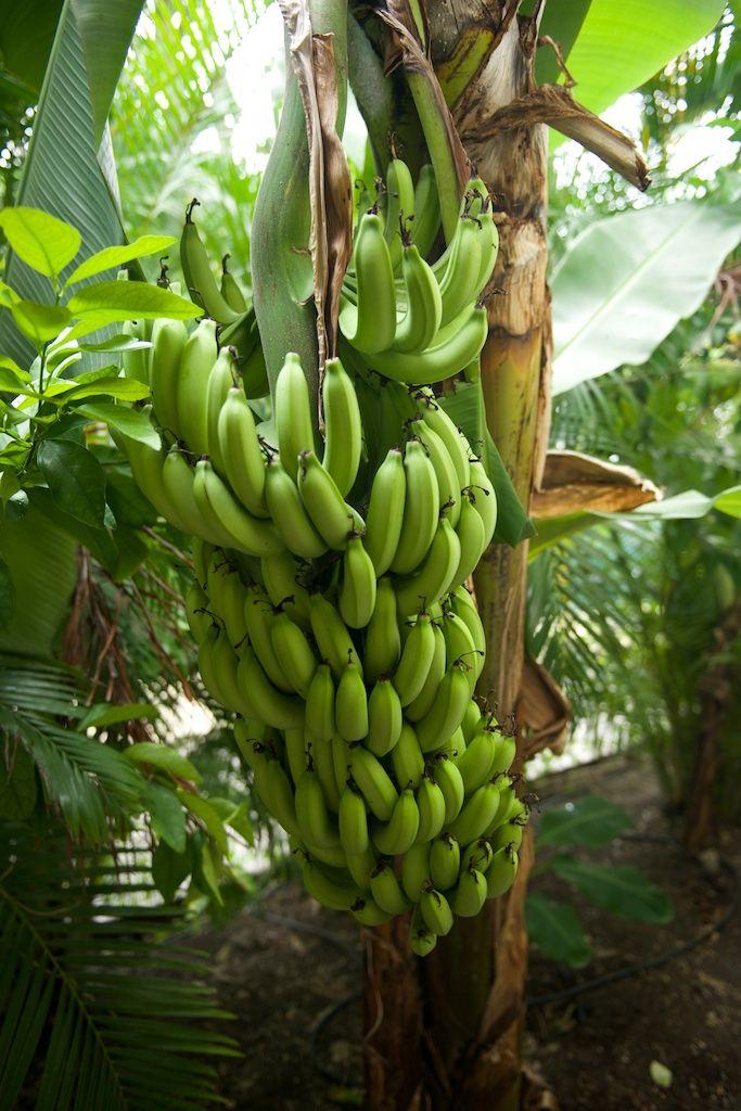 Régime de banane, Guadeloupe