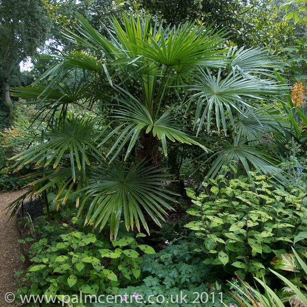 trachycarpus fortunei evergreen palm needs winter protection from palm centre gardens. Black Bedroom Furniture Sets. Home Design Ideas