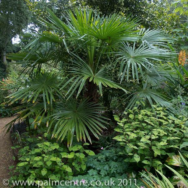 Uk Tropical Plants Part - 20: Image Result For Trachycarpus Fortunei