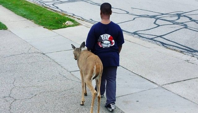 A Reddit user recently posted a photo of a blind deer who lives in his suburban Chicago neighborhood. Every morning, a 10-year-old boy walks with the deer and guides her between grass patches to make sure she gets enough food.