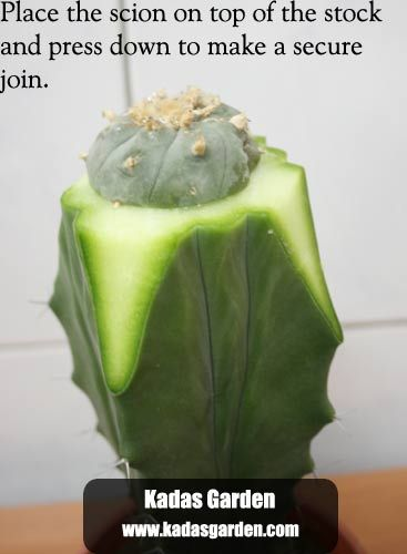 Grafting Cacti - How to graft cactus