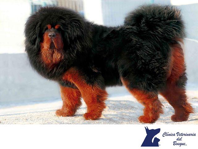 LA MEJOR CLÍNICA VETERINARIA DE MÉXICO. El mastín tibetano es una raza de perro antigua. Se utilizaba mucho en la cordillera del Himalaya a modo de guardián de rebaños y poblados. Es un perro potente y con una gran musculatura, a pesar de su gran tamaño, se caracteriza por tener una gran habilidad. En Clínica Veterinaria del Bosque, contamos con médicos veterinarios especialistas para la atención de tu mascota. #veterinariadelbosque