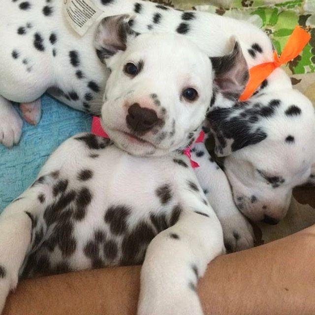 Simple Dalmation Chubby Adorable Dog - 9872837d640506b9c53a1813120f6f79--dalmatian-puppies-dalmatians  Gallery_99737  .jpg