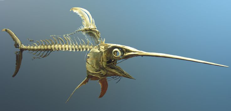 Swordfish skeleton at the National Museum of Natural History, Washington, DC