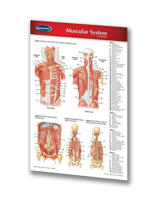 17 best ideas about muscular system on pinterest | human muscle, Muscles