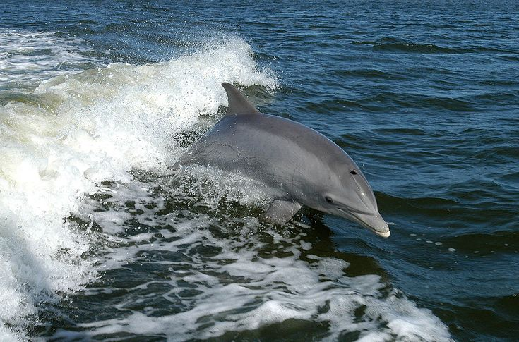 The Bottlenose Dolphin (Tursiops truncatus) is the most common and well-known dolphin species. It inhabits warm and temperate seas worldwide and may be found in all but the Arctic and the Antarctic Oceans.  Photo credit: NASA Kennedy Space Center