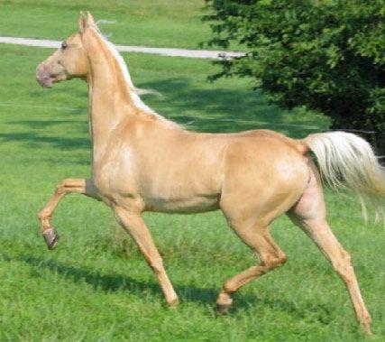 American Saddlebred | American Saddlebred - horse Breeds | ცხენის ...