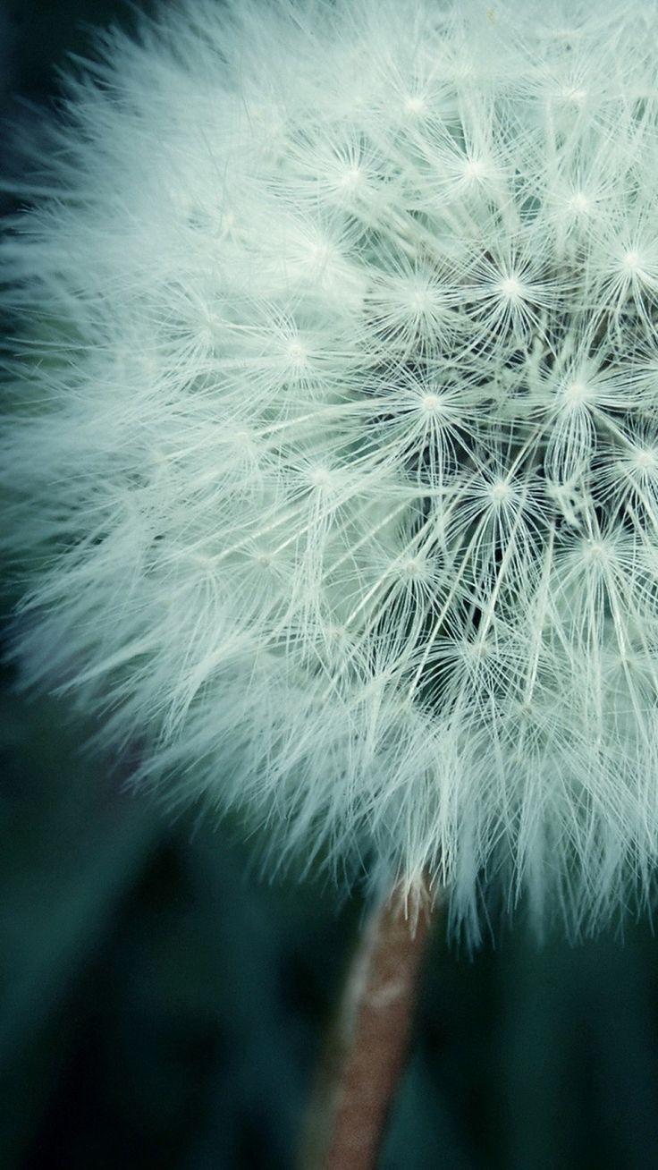 Asethetic Dandelion Plant Macro iPhone 6 wallpaper
