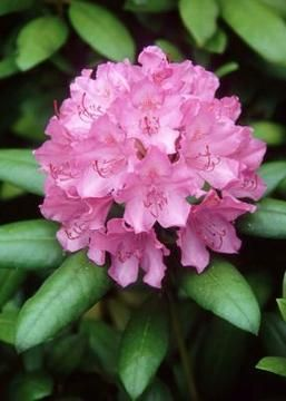 Overgrown rhododendrons can be tamed with strategic pruning.  This pin describes how to prune a Rhododendron without hurting it.