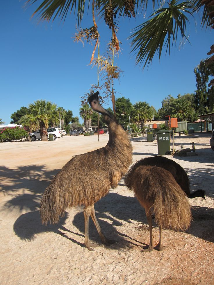 Hungry emus at the Monkey Mia Resort caravan park - Western Australia