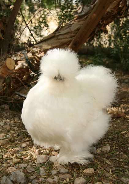 white silkie chicken. I want for the garden!