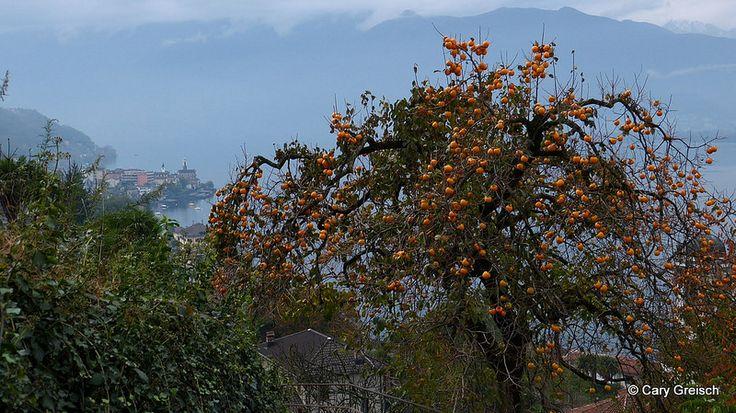 Plaqueminier kaki, Kaki-Baum (Diospyros kaki) à Magadino (2012-11-03 -19)