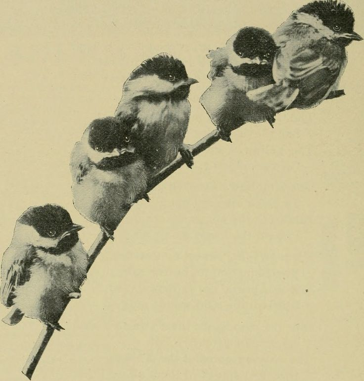 "https://flic.kr/p/otpp4d | Image from page 401 of ""American ornithology for the home and school"" (1901) 