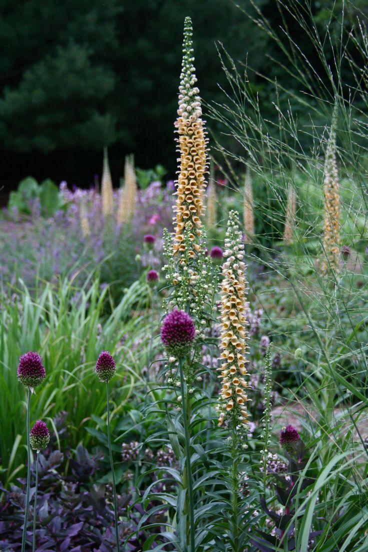 Digitalis ferruginea + allium + grasses = Beauty