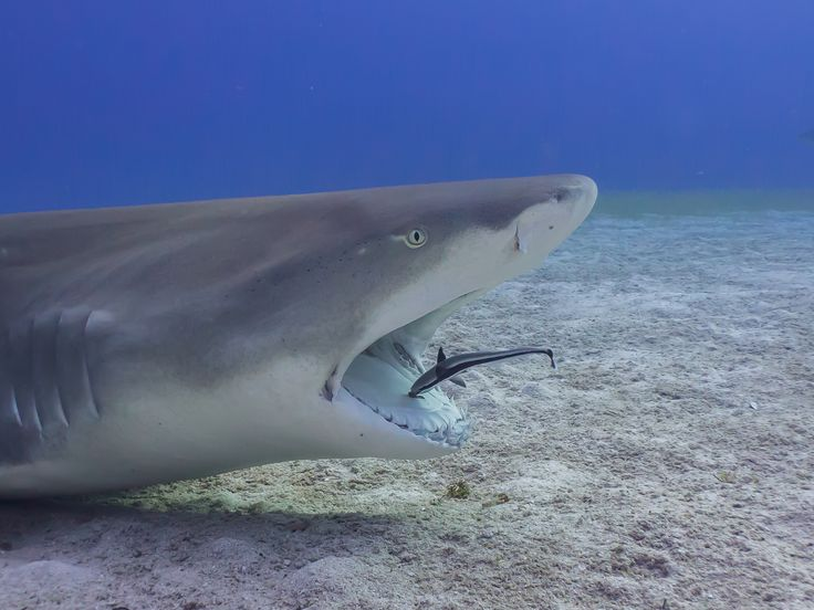 The Dentist - Remora cleaning the mouth of a lemon shark in beautiful Bahamas, now that's symbiosis !