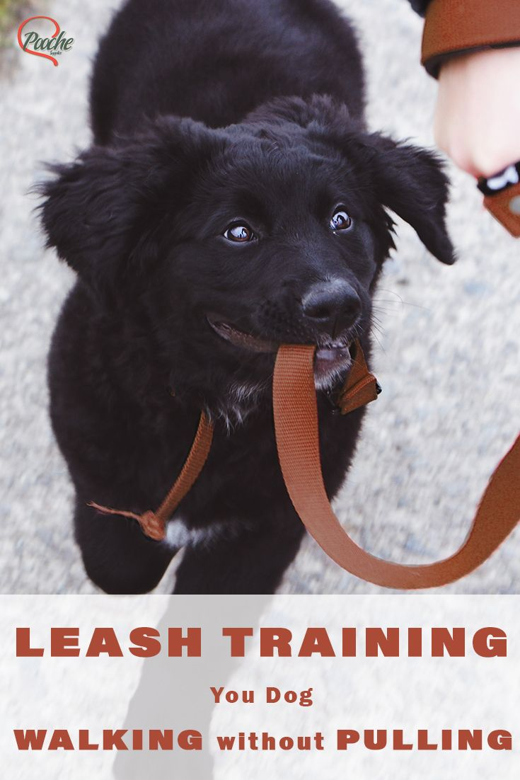 Leash Training Your Dog Walking Without Pulling Training Your