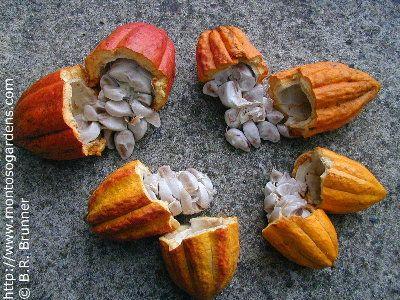 Google Image Result for http://www.montosogardens.com/theobroma_cacao_4_small.JPG