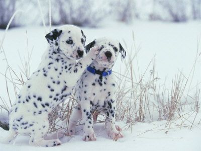 obsessed with dalmatians