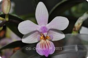 Phal. equestris Apari pink x lindenii - Orchideen der Schwerter Orchideenzucht