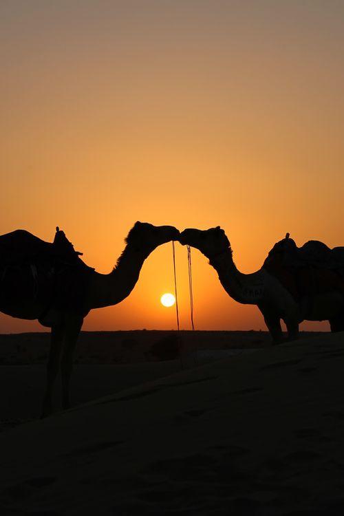 целуются верблюды на закате дня