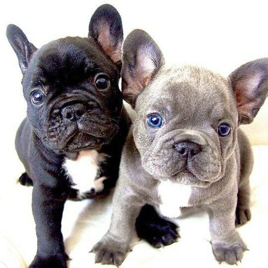Frenchies #thoseeyestho