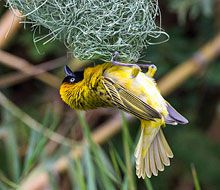 Wildlife at Serra Cafema | Wilderness Safaris  lesser masked-weaver busy building his nest