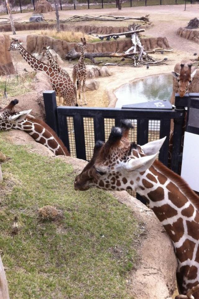 Dallas Zoo Giraffe Exhibit- spent hours here