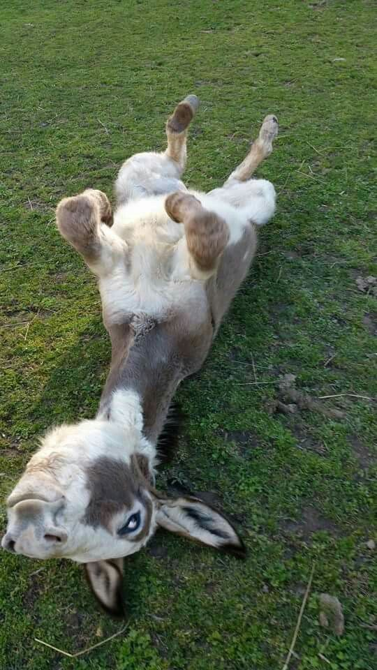 That is one happy and relaxed donkey