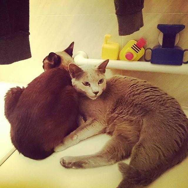 20170210☆  浴室乾燥機を使っていたら、いつの間にか猫たちが入り込んでた💕  昨夜、急に浴室の換気・暖房乾燥機のリモコンが動かなくなり、使えなくなった💦 取説見てみたけど直せず…💧 最悪、乾燥機本体ごと交換か?と思ったけど、今朝、普通に使えた~😅 なんだったんだろう? * * #猫 #猫と暮らす #愛猫 #多頭飼い  #シャムミックス #ロシアンブルー  #浴室暖房乾燥機 #必需品  #14年もの #いつ壊れてもおかしくない #壊れると困る  #cat #catlover #💕