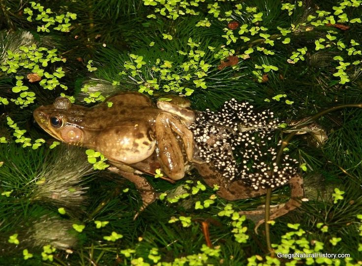 A female Frog laying eggs in the water.