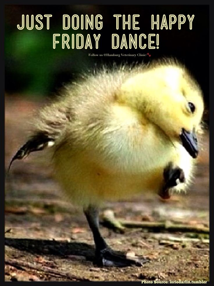 Friday is here | Happiness | Animal humor | Cute duckling | Celebrate | Dance | Weekend almost here: Just doing my HAPPY Friday Dance! Who else is HAPPY that it's FINALLY Friday?!  I sure am! Enjoy friends.