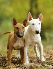 Image result for english bull terrier