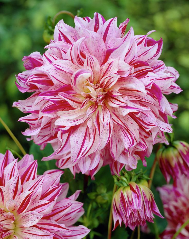 Delightful Dinnerplate Dahlia Bristol Stripe, Dahlia   Spring Bulbs From American  Meadows.I Love Dahlias! They Have Such Gorgeous Blooms!