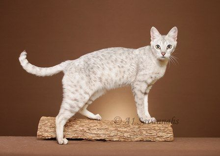F5 White Savannah Cat and like OMG! get some yourself some pawtastic adorable cat apparel!