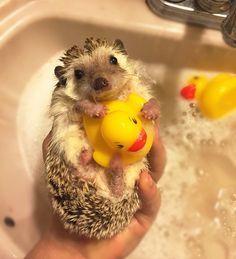 ♥ Pet Hedgehog ♥  Cute Hedgehog with rubber duckie