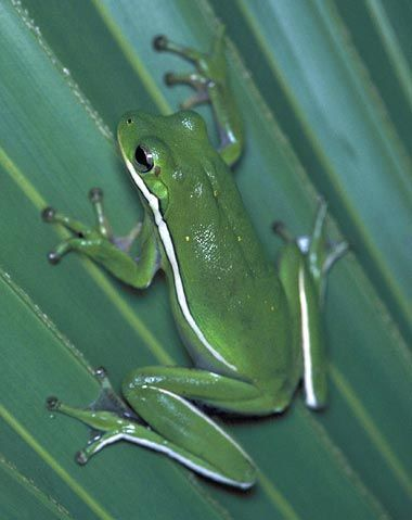 LA State amphibian..Green tree frog - click to see all amphibian & reptile symbols