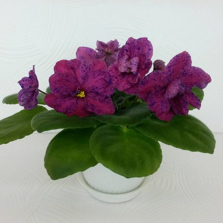 Repost magic_violet_kg  Из новинок в моей коллекции РМ- Фаина😊🌸 New violet in my collection RM-Faina #фиалки #коллекцияфиалок#любимыецветы#кыргызстан