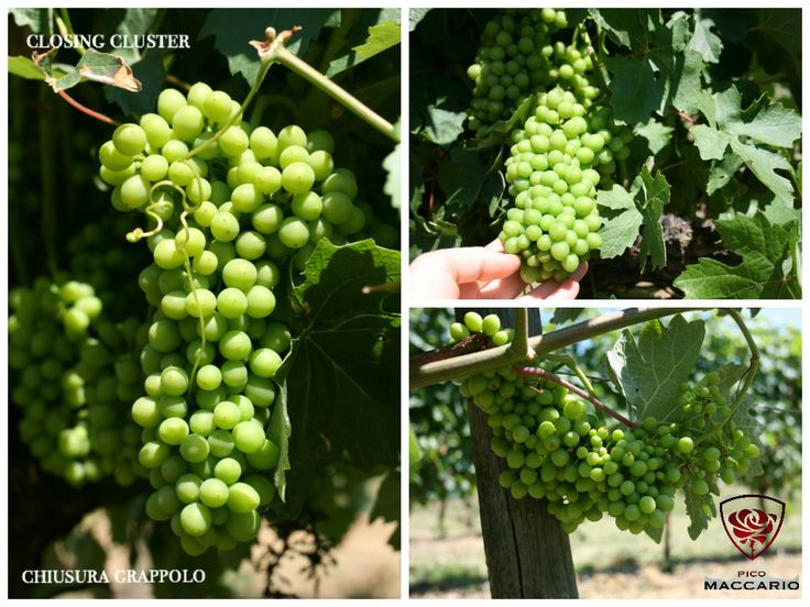 Barbera grapes: closing of the cluster