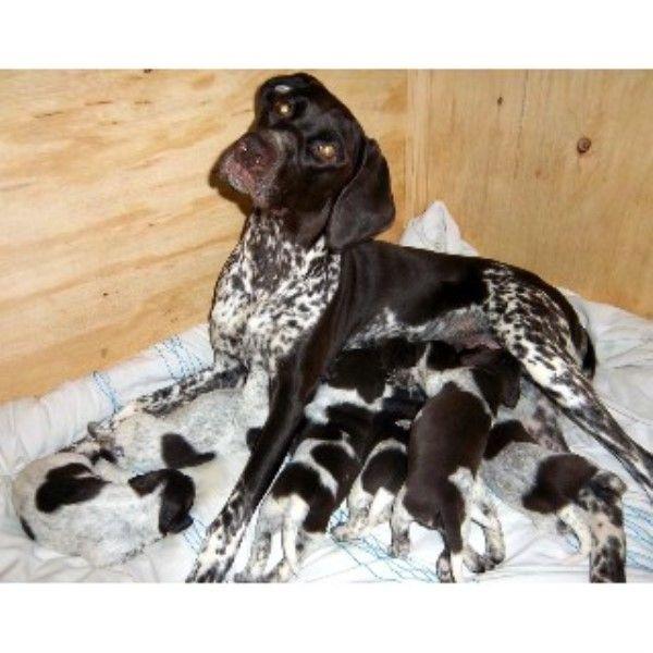 Gorgeous Pedigree German Shorthaired Pointer Pups Pointer