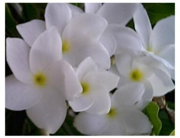 """flowers of the plant called """"Bride Bouquet"""""""