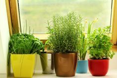 How to grow herbs indoors this winter. In most cases, growing herbs indoors is as easy as digging up the roots of your garden herbs and putting them in a...