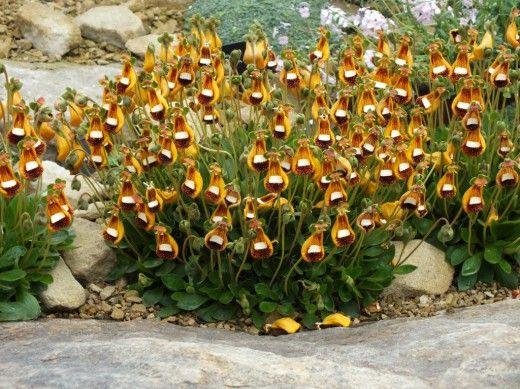 Кальцеолярия — яркие башмачки. Кальцеолярия — травянистое обильно цветущее растение, которое в комнатной культуре выращивают как однолетник или двулетник. Она покоряет своими своеобразными по форме яркими двугубыми цветками, причем нижняя губа крупная, вздутая, шаровидная, а верхняя чрезвычайно маленькая, еле заметная. По внешнему сходству в народе их прозвали «башмачки» или «кошельки». Фото: © Teddington Gardener