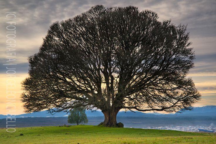 https://flic.kr/p/vDzy6j | Un Solitario - Alerce (Patagonia -Chile) | Un viejo árbol  domina el paisaje entre Puerto Varas y el poblado de Alerce con un espledido ramaje se dibuja contra el cielo matutino invernal.  --------------------------------  An old tree dominates the landscape between Puerto Varas and the town of Alerce with splendid branches drawning against the winter morning sky.