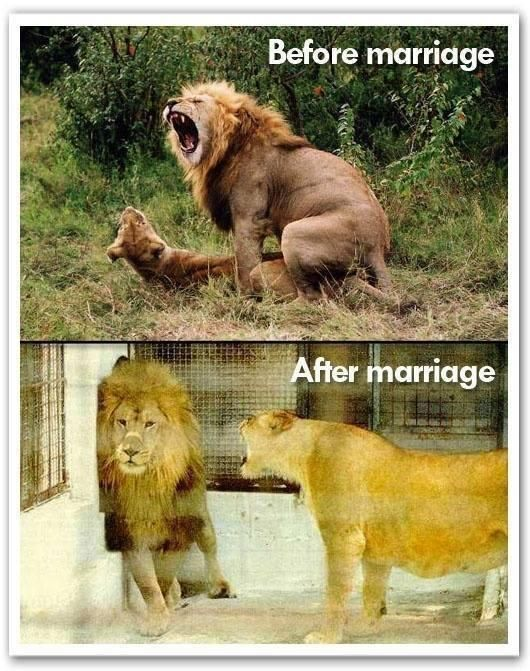 Funny Married Lions Before After